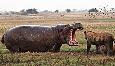 Ιπποπόταμος ΤΣΑΚΙΖΕΙ λιοντάρι με μία μόνο κίνηση! | ΒΙΝΤΕΟ