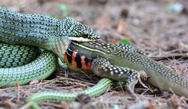 Φίδι κατασπαράζει «δράκο» στο πι και φι! | ΒΙΝΤΕΟ