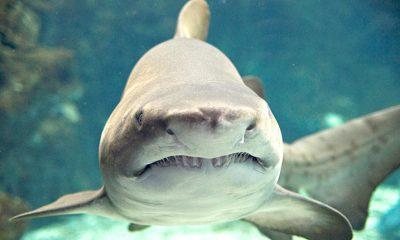 ταυροκαρχαρίες