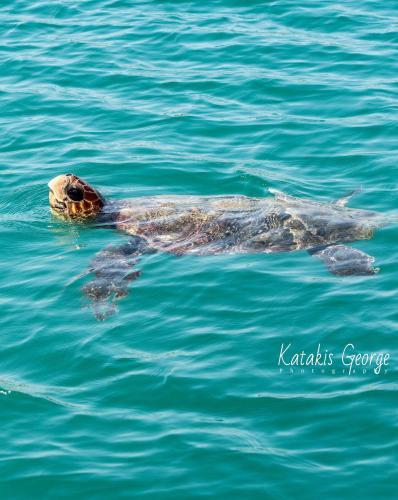 θαλασσια χελωνα στο ρεθυμνο