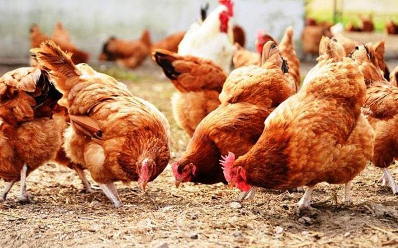 ανακληση 34,5 τονων δηθεν βιολογικων κοτοπουλων κρητικης εταιριας